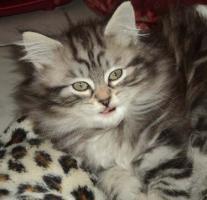 Foto 7 Sibirientaigas-19 Jahre Sibirische Katzen