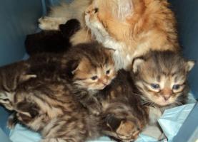 Sibirientaigas-über 15 Jahre Sibirische Katzen