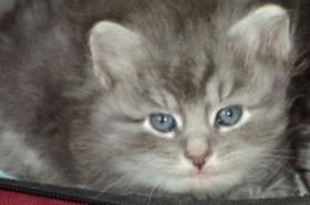 Foto 2 Sibirientaigas-über 15 Jahre Sibirische Katzen