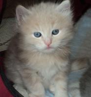 Foto 3 Sibirientaigas-über 15 Jahre Sibirische Katzen