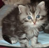 Foto 4 Sibirientaigas-über 15 Jahre Sibirische Katzen