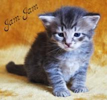 Foto 2 Sibirische Fellknäule zum liebhaben!!! Hypoallergen!!!