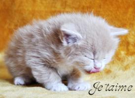 Foto 3 Sibirische Fellknäule zum liebhaben!!! Hypoallergen!!!