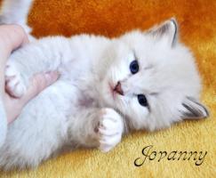 Foto 6 Sibirische Fellknäule zum liebhaben!!! Hypoallergen!!!
