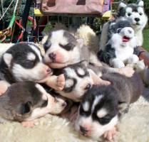 Foto 6 Sibirische Huskywelpen Siberian Husky Welpen