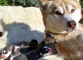 Foto 10 Sibirische Huskywelpen Siberian Husky Welpen