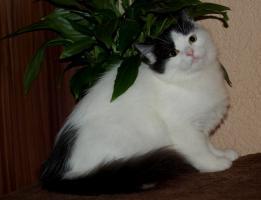 Sibirische Kätzchen mit Stammbaum