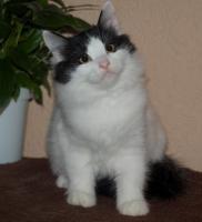 Foto 3 Sibirische Kätzchen mit Stammbaum
