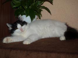 Foto 4 Sibirische Kätzchen mit Stammbaum