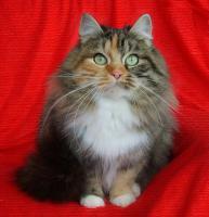 Foto 2 Sibirische Katze