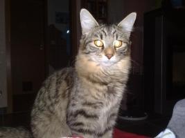 Sibirische Katze, 9 Monate alt, sehr verschmust