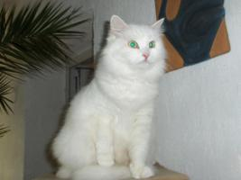 Foto 3 Sibirische Katze, weiß