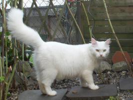 Foto 6 Sibirische Katze, weiß