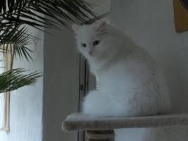 Foto 7 Sibirische Katze, weiß