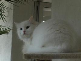 Foto 8 Sibirische Katze, weiß