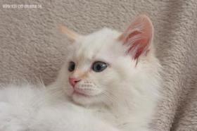 Foto 3 Sibirische Katzen & Neva Masquarade mit Stammbaum!
