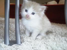 Sibirische Katzenbabys suchen neues Zuhause !