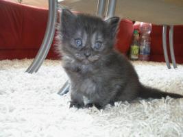 Foto 2 Sibirische Katzenbabys suchen neues Zuhause !