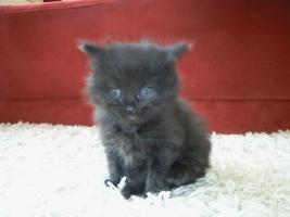 Foto 3 Sibirische Katzenbabys suchen neues Zuhause !