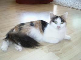 Foto 5 Sibirische Katzenbabys suchen neues Zuhause !