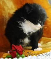 Sibirische Katzenkinder suchen liebevolles Zuhause