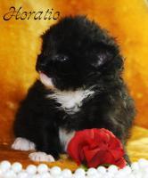 Foto 2 Sibirische Katzenkinder suchen liebevolles Zuhause