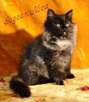 Foto 3 Sibirische Katzenkinder suchen liebevolles Zuhause