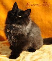 Foto 6 Sibirische Katzenkinder suchen liebevolles Zuhause