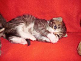 Sibirische Waldkatze/Hauskatzen Babys