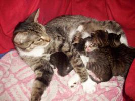Foto 2 Sibirische Waldkatze/Hauskatzen Babys