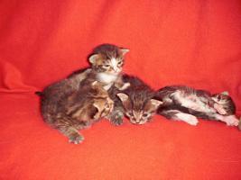 Foto 3 Sibirische Waldkatze/Hauskatzen Babys