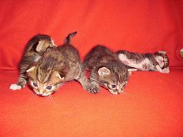 Foto 4 Sibirische Waldkatze/Hauskatzen Babys
