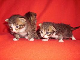 Foto 5 Sibirische Waldkatze/Hauskatzen Babys