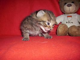 Foto 6 Sibirische Waldkatze/Hauskatzen Babys