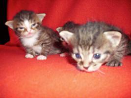 Foto 7 Sibirische Waldkatze/Hauskatzen Babys