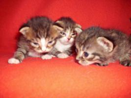 Foto 8 Sibirische Waldkatze/Hauskatzen Babys