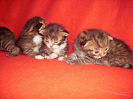 Foto 9 Sibirische Waldkatze/Hauskatzen Babys