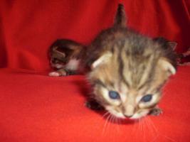 Foto 10 Sibirische Waldkatze/Hauskatzen Babys