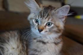 Sibirische Waldkatze sucht neues Zuhause!