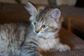 Foto 2 Sibirische Waldkatze sucht neues Zuhause!