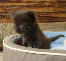 Foto 5 Sibirische Waldkatzen