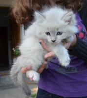 Sibirische Waldkatzen Neva Masquarade