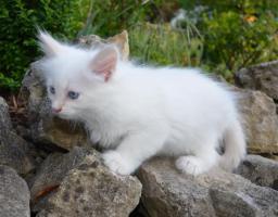 Foto 2 Sibirische Waldkatzen Neva Masquarade