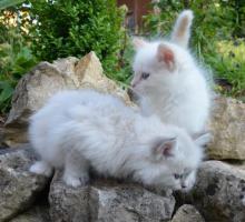 Foto 3 Sibirische Waldkatzen Neva Masquarade