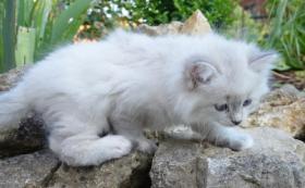 Foto 5 Sibirische Waldkatzen Neva Masquarade