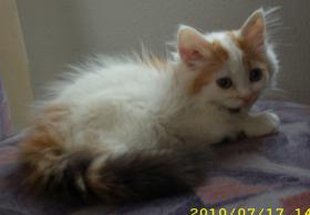 Foto 4 Sibirische Waldkatzen, noch 3 s��e Mietzen 11 Wochen alt
