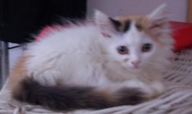 Foto 5 Sibirische Waldkatzen, noch 3 s��e Mietzen 11 Wochen alt