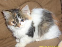 Foto 6 Sibirische Waldkatzen, noch 3 s��e Mietzen 11 Wochen alt