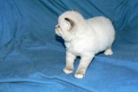 Sibirisches Kätzchen mit Papiere
