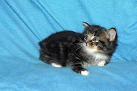 Foto 2 Sibirisches Kätzchen mit Papiere